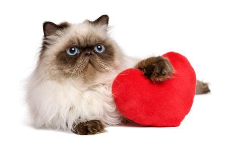 Lindo amante de San Valentín del gato persa colourpoint con un corazón rojo, aislado en fondo blanco