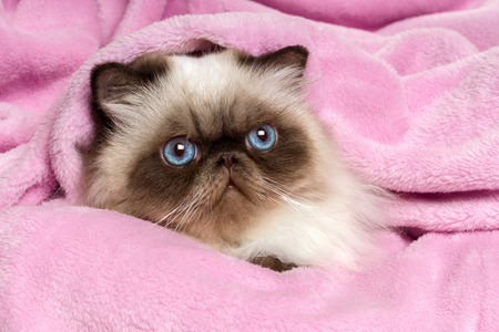 bedspread: Close up of a cute young persian seal colourpoint cat is lying on a pink bedspread Stock Photo