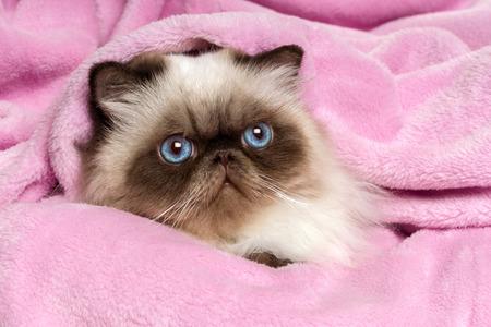 ojos azules: Primer plano de un joven persa lindo gato colourpoint sello está acostado en una colcha de color rosa