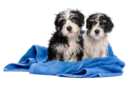 havanais: Two cute wet havanese puppies after bath is sitting on a blue towel and looking left, isolated on white background