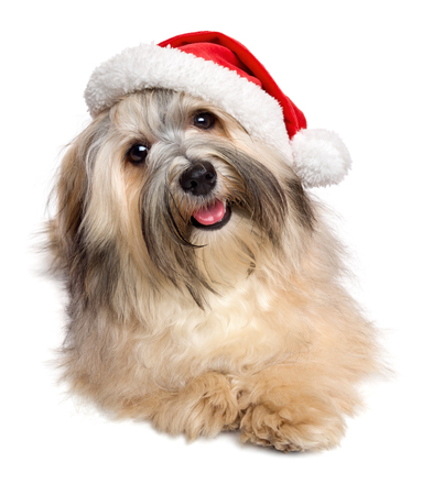havanais: Cute happy Bichon Havanese dog lying in a Christmas - Santa hat. Isolated on white background Stock Photo