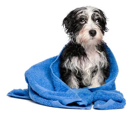 Leuke slimme havanese puppy hond na bad zit op een blauwe handdoek en op zoek naar boven, op een witte achtergrond