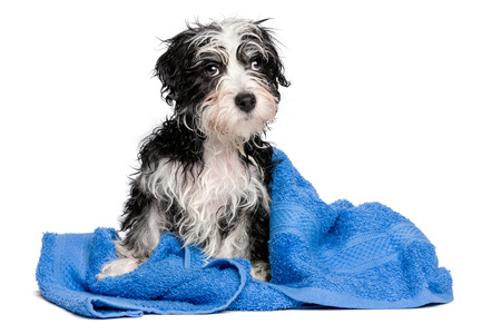 Cute wet havanese puppy dog after bath is sitting on a blue towel, isolated on white background
