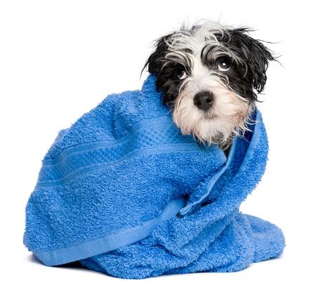 toallas: Divertida del perro de perrito havanese mojado después del baño está cubierto con una toalla de color azul, aislado en fondo blanco