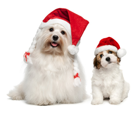 christmas hats: Father and son Bichon Havanese dogs in Christmas hats. Isolated on a white background