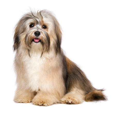 Beautiful happy young Bichon Havanese dog is sitting and looking at camera - isolated on white background