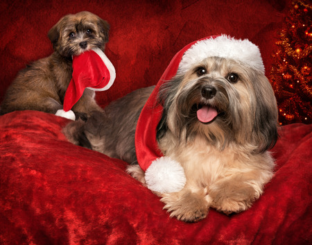 animals and pets: Cute Christmas Bichon Havanese dog and a puppy with Santa hats - greeting card design with some text space Stock Photo