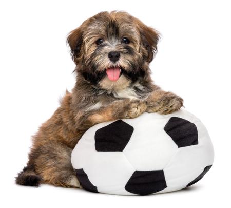 Het leuke gelukkige havanese puppy hond speelt met een voetbal speelgoed en kijken naar de camera, op een witte achtergrond