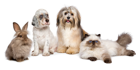 kittens: Group of young pets: english setter puppy, havanese dog, persian kitten, little rabbit - isolated on white