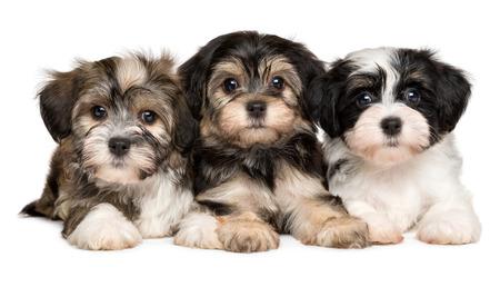 Drie leuke bichon havanese puppy's liggen naast elkaar en kijken naar camera, geïsoleerd op een witte achtergrond Stockfoto