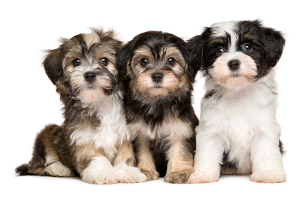 Three cute bichon havanese puppies are sitting next to each other, isolated on white background