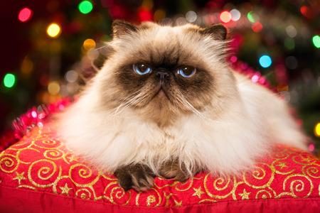 Grappige Perzische colourpoint kat is liggend op een rood kussen in de voorkant van een kerstboom met kleurrijke verlichting bokeh