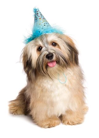 feliz lindo cachorro de perro Bichón Habanero en un sombrero azul del partido está sentado y mirando a la cámara - aislada en el fondo blanco