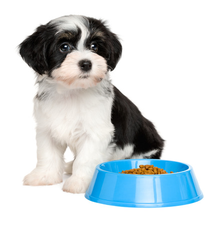 dog biscuit: Cute tricolor Bichon Havanese puppy dog is sitting next to a blue bowl of dog food - isolated on white background