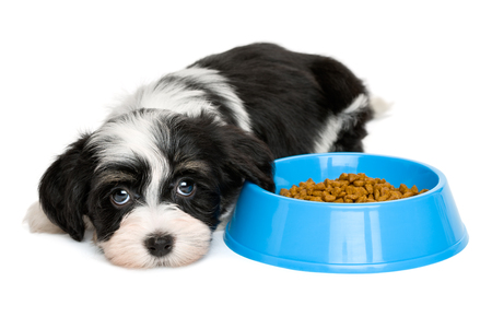 havanais: Cute tricolor Bichon Havanese puppy dog is lying next to a blue bowl of dog food and looking at camera - isolated on white background