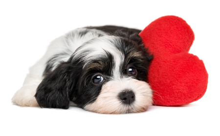 woeful: Cute black and white lover Valentine havanese puppy dog with a red heart - isolated on white background Stock Photo
