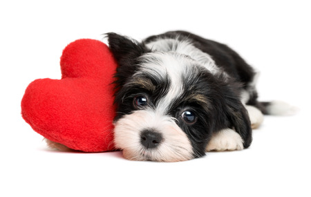 white heart: Cute black and white lover Valentine havanese puppy dog with a red heart - isolated on white background Stock Photo