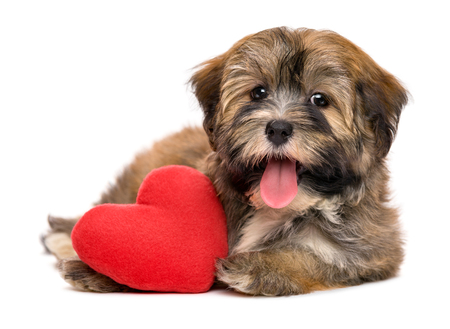 havanese: Cute lover happy valentine havanese puppy dog with a red heart, isolated on white background