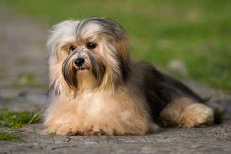 havanese: Cute young havanese dog is lying on a paved road in soft sunlight in late summer Stock Photo
