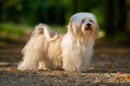 havanese: Beautiful young cream havanese dog is standing on a sunny forest path in late summer