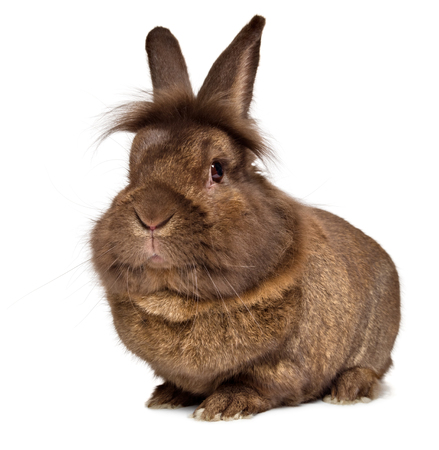 fluffy ears: Funny big head chocolate colored lionhead rabbit, isolated on white background Stock Photo