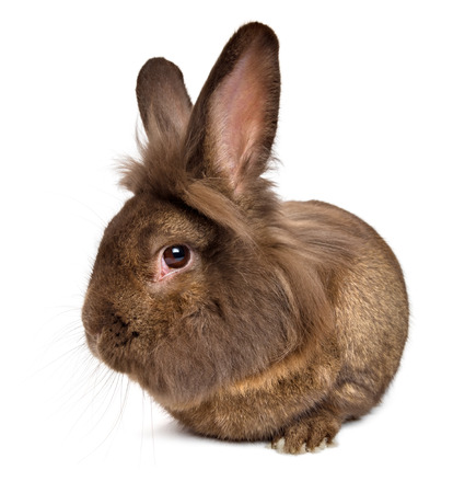 lionhead: Funny lying chocolate colored lionhead rabbit, isolated on white background Stock Photo