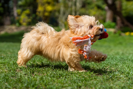 carry on: Playful little orange havanese puppy dog is running with her favorite toy in her mouth in a spring garden