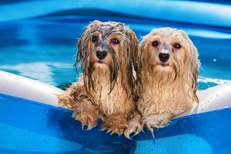 두 귀여운 젖은 된 Havanese 개는 뜨거운 여름 오후에 풍선 야외 수영장의 가장자리에 의존