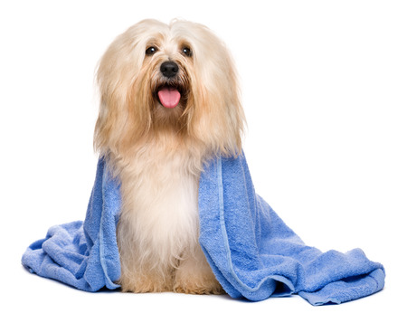 Beautiful happy reddish havanese dog after bath is sitting wrapped in a blue towel, isolated on white background