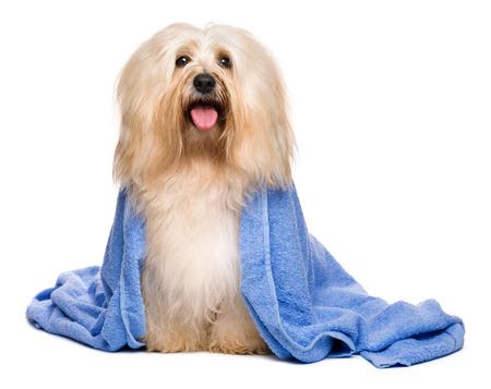 perros vestidos: Perro havanese rojizo feliz hermosa después del baño está sentado envuelto en una toalla azul, aislado en fondo blanco