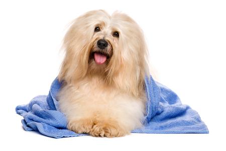 Mooie gelukkige roodachtige havanese hond na bad wordt liegen verpakt in een blauwe handdoek en houdt zijn hoofd in een hoek, op een witte achtergrond
