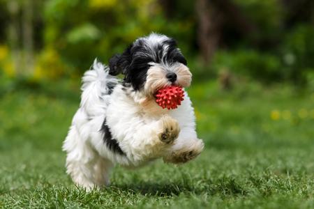 Juguetón cachorro de perro havanese manchado se está ejecutando con una bola roja en su boca en un jardín de primavera