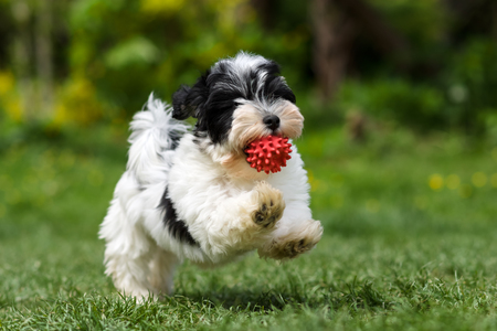 Playful spotted havanese puppy dog is running with a red ball in his mouth in a spring garden