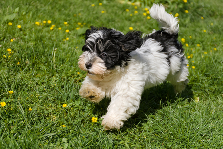 spotted dog: Cute spotted havanese puppy dog is running in a spring flowering garden