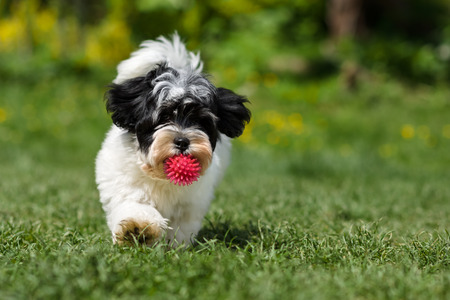 havanais: Playful spotted havanese puppy dog is running towards the camera with a pink ball in his mouth in a spring garden