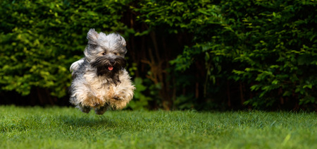 Happy havanese dog is running fast and jumping towards camera in the grass Standard-Bild