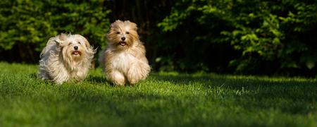 dva: Dva šťastní havanové psy běží směrem k fotoaparátu ve formátu trávníku široký