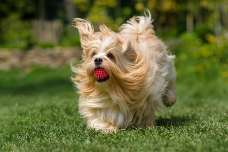 havanais: Playful orange havanese dog is running with a pink ball in his mouth in a spring garden