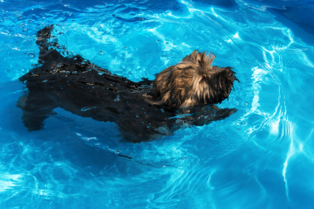 havanais: Cute havanese puppy dog is swimming in a blue outdoor pool on a hot summer day