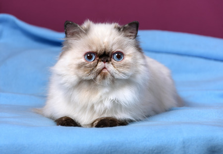 catling: Cute persian seal tortie point color kitten is lying on a blue bedspread in front of a purple wall background