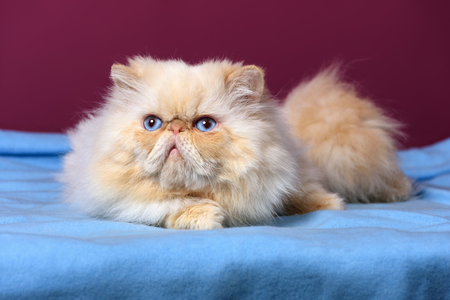 catling: Cute cream colorpoint persian cat is lying on a blue bedspread in front of a purple wall background