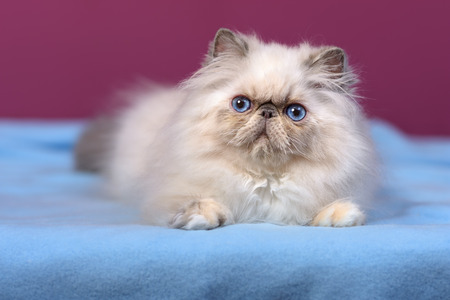 catling: Cute blue-cream colorpoint persian kitten is lying on a blue bedspread in front of a purple wall background