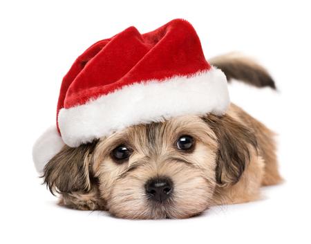 クリスマス帽子 - 白い背景で隔離のかわいい横になっているビション Havanese 子犬犬のクローズ アップ 写真素材