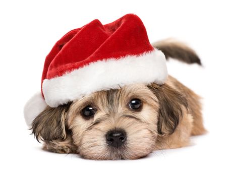 Close-up van een leuke het liggen Bichon Havanese puppy hond in de hoed van Kerstmis - die op een witte achtergrond Stockfoto