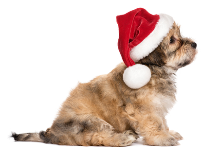 havanese: Side view of a cute sitting Bichon Havanese puppy dog in Christmas hat - Isolated on a white background Stock Photo