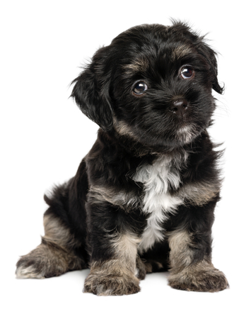 cute puppy: Cute sitting black and tan havanese puppy dog, isolated on white background