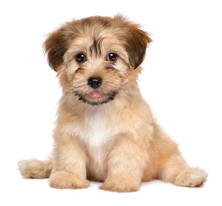 かわいい havanese 子犬犬が正面を座っていると、白い背景で隔離のカメラ目線 写真素材 - 64181496