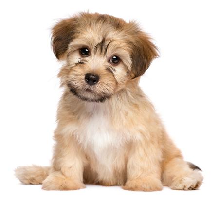Leuke havanese puppy hond zit frontale en kijken naar de camera, op een witte achtergrond