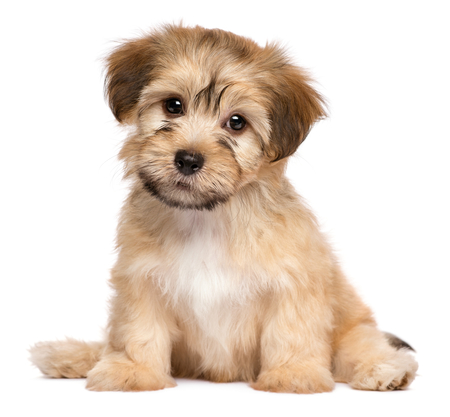 Cute havanese puppy dog is sitting frontal and looking at camera, isolated on white background