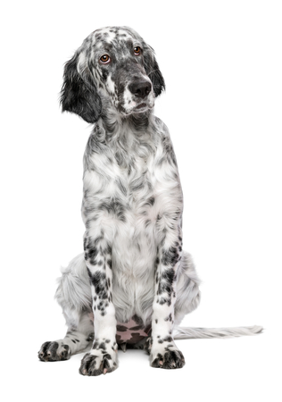 old english: Cute 4 months old blue belton english setter puppy - show quality female dog - isolated on white background Stock Photo